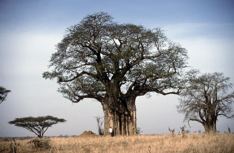 Imagen  Los árboles viejos y grandes crecen más rápido y almacenan más carbono  arbol